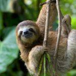 Fauna del Costa Rica: il Bradipo