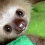 Sloth Sanctuary, l'unico orfanotrofio per bradipi al mondo