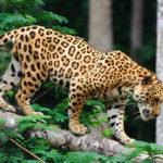 Un corridoio biologico a difesa del giaguaro in Costa Rica
