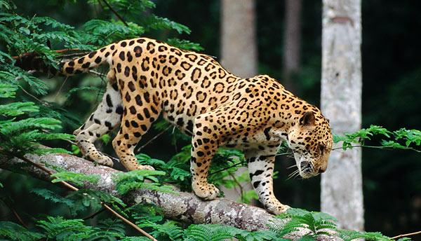 What Do Jaguars Eat >> Un corridoio biologico a difesa del giaguaro in Costa Rica ...