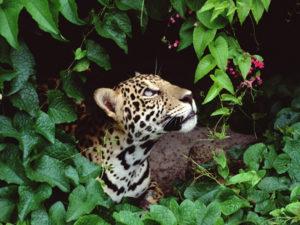 giaguaro1