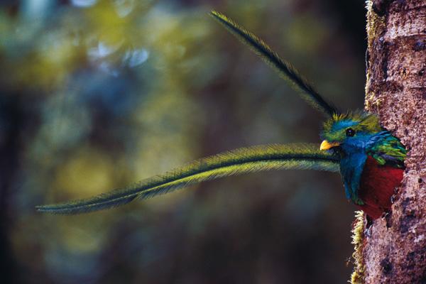splendente-quetzal