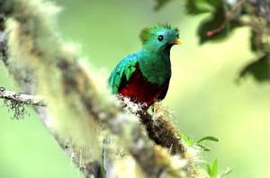 splendente-quetzal1
