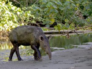 tapiro-di-baird
