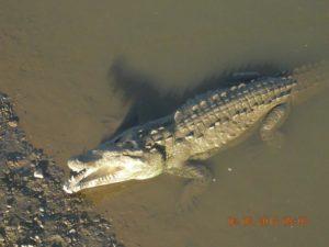tarcoles-crocodile safari 03