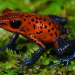 Fauna del Costa Rica: la rana pigmea