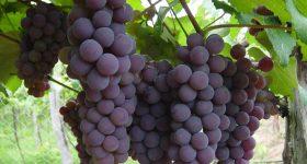 Italiano ha creato  la prima uva 100% costaricense