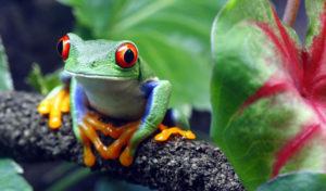 Uno splendido esemplare di rana dagli occhi rossi