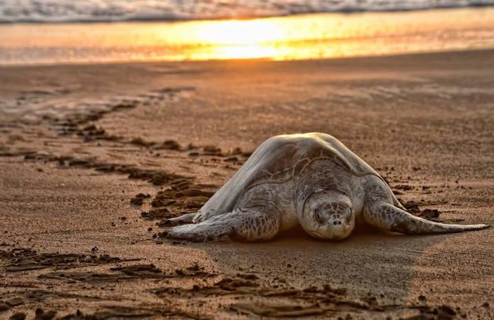 Le tartarughe marine visit costa rica for I gatti mangiano le tartarughe